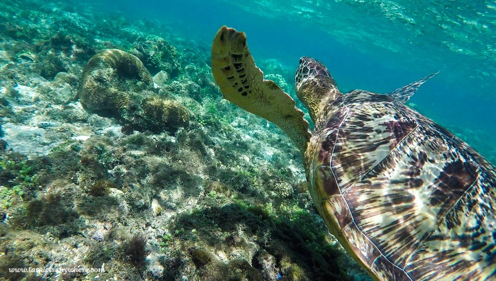 Apo Island: Snorkeling and swimming with turtles